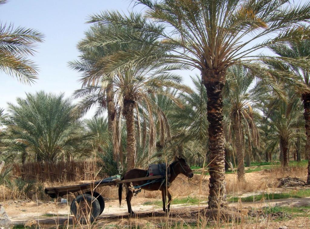 Die Palmengärten von Douz. Ernte auf 3 Etagen: Unten Gemüse, Mitte Sträucher wie Banane oder Granatapfel, Oben Dattelpalmen
