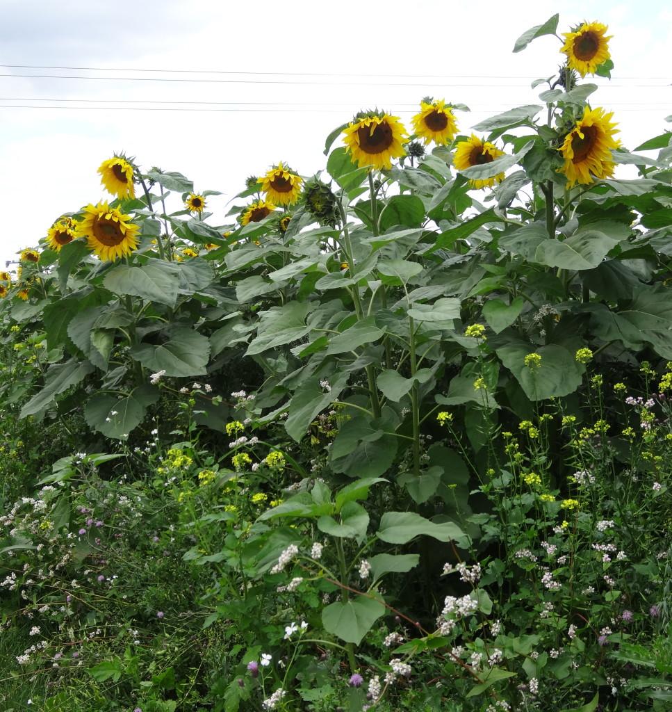 Sonnenblumen auf dem Schmidener Feld