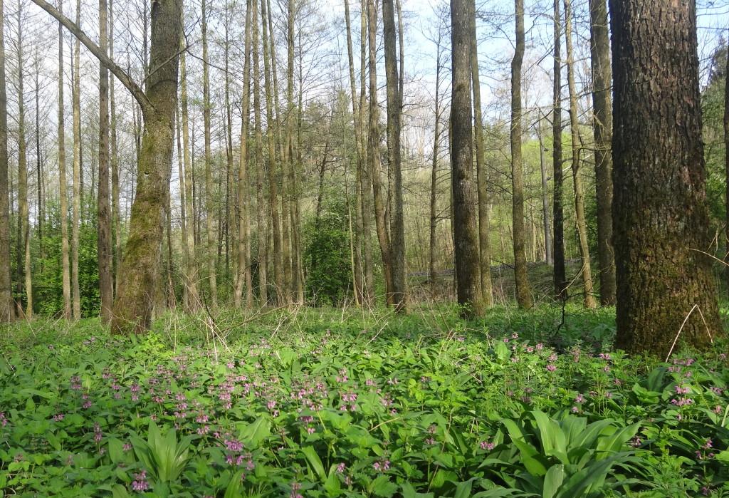 Dem lichten Wald liegt ein Teppich aus Bärlauch und der lila Taubnessel zu Füßen