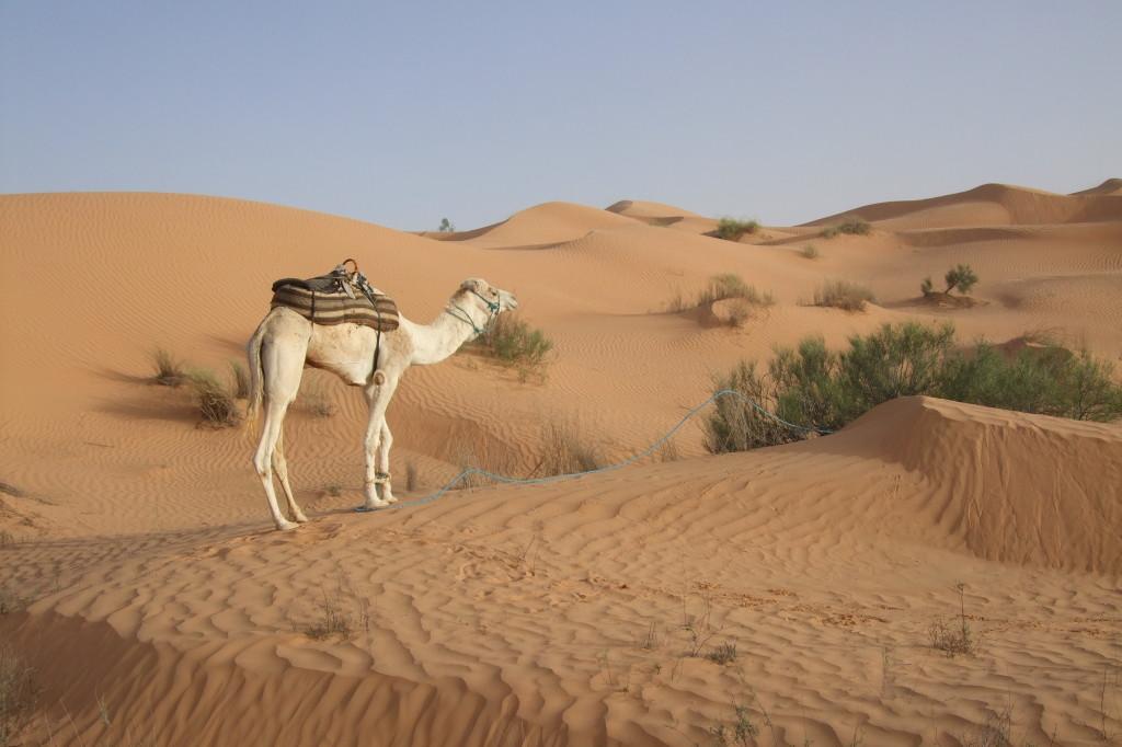 Am Abend suchen unsere Beduinen einen passenden Platz für die Nacht. Die Tiere werden entladen und angebunden