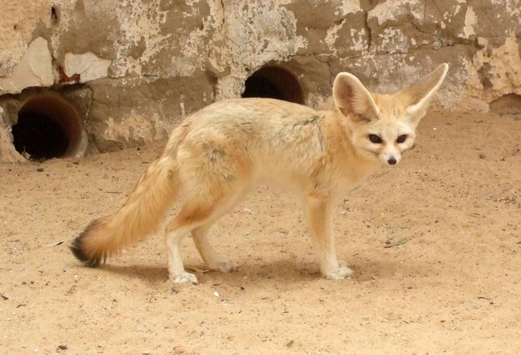 Fenek, der Wüstenfuchs. Seine Spuren haben wir oft gesehen in der Wüste. Persönlich kennengelernt haben wir ihn im Zoo von Touzeur