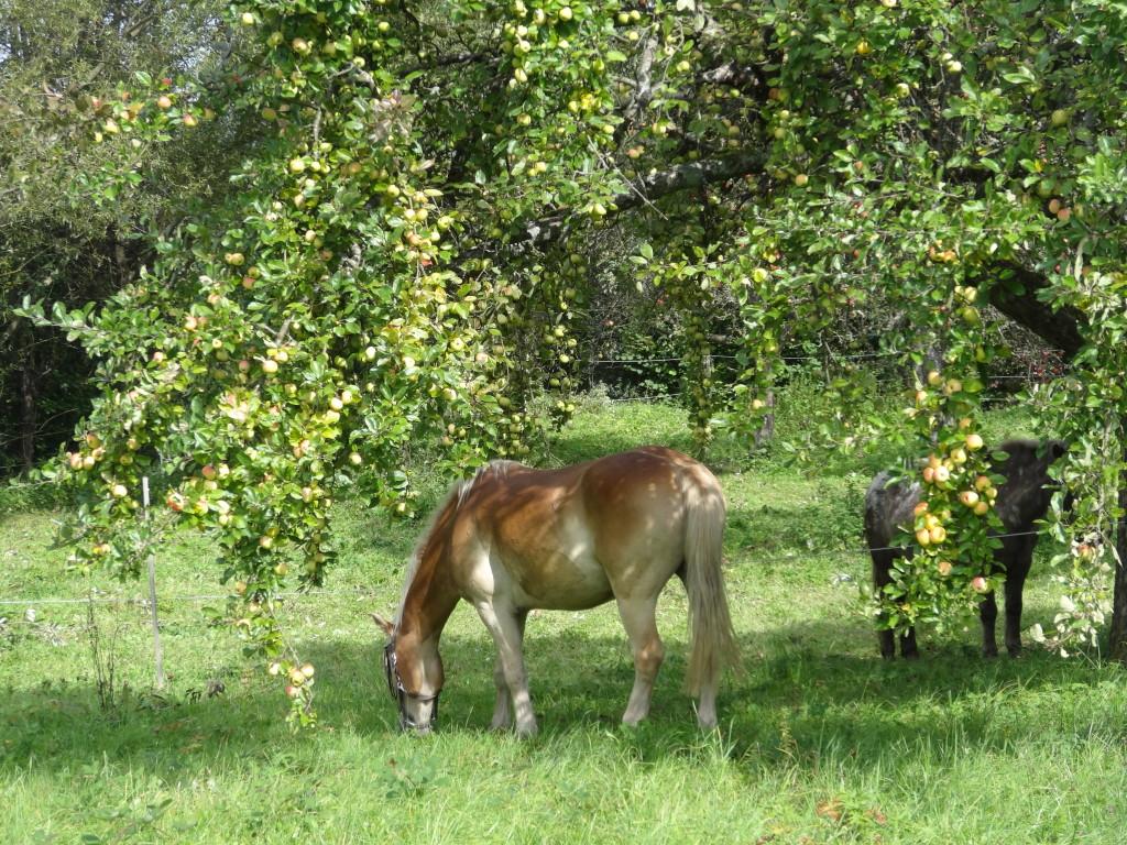 Pferde unter Apfelbäumen bei Stetten im Remstal